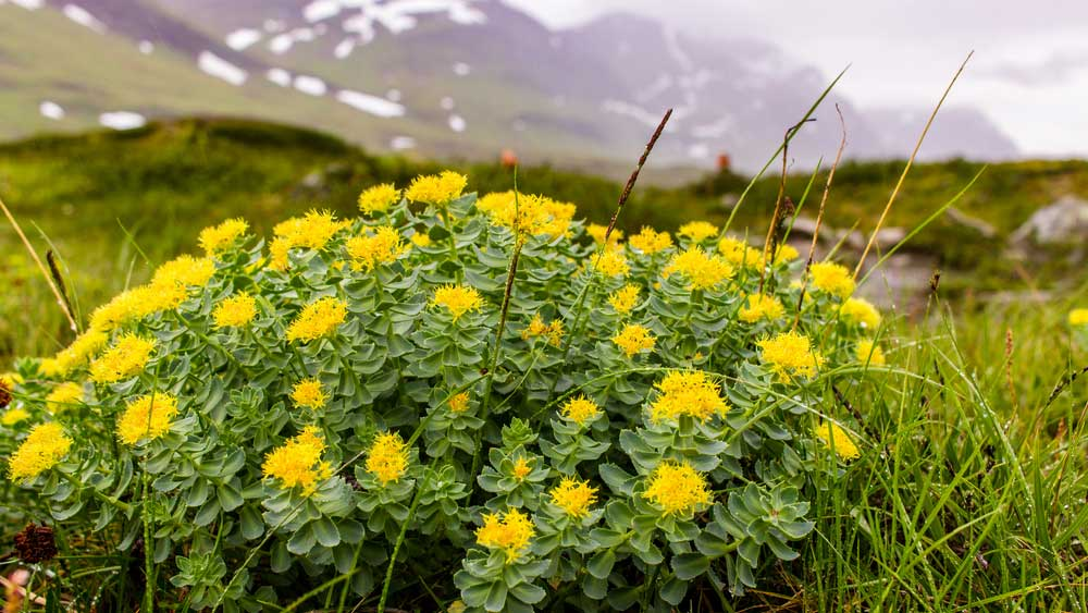 rhodiola plant in nature